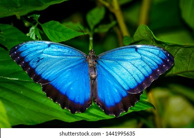 Common Blue Morpho photo taken in Panama also known as Morpho peleides