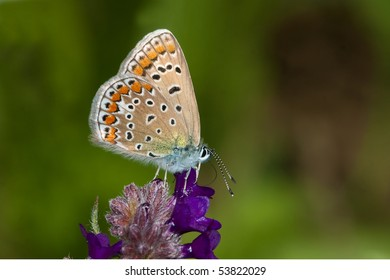 common blue ( Polyommatus icarus ) female on a violet flower