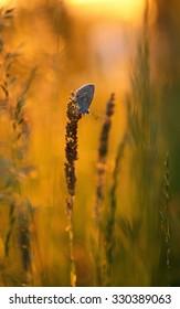 Common Blue (Polyommatus icarus). Photo was taken in Roztochia (Ukraine, Europe).