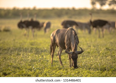 Common Blue Wildebeest or Brindled Gnu (Connochaetes taurinus)  grazing at sunset in Mooiplaas river bed in bushveld savanna of Kruger national park South Africa with ostrich in background