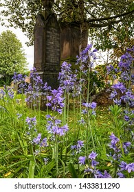Common Bluebell flower in graveyard in Inverness, Scotland.