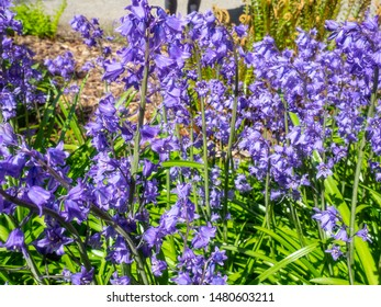 Common bluebell (Hyacinthoides non-scripta) (formerly Endymion non-scriptus or Scilla non-scripta) is a bulbous perennial plant, found in Atlantic areas from north-western Spain to the British Isles