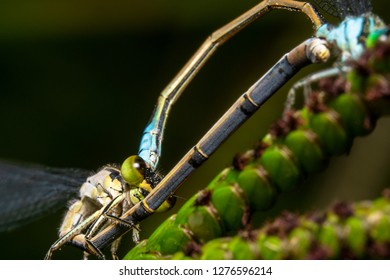 Common Bluetail Damselfly, scientific name Ischnura heterosticta is mating on a branch with a beautiful green background to make them pop