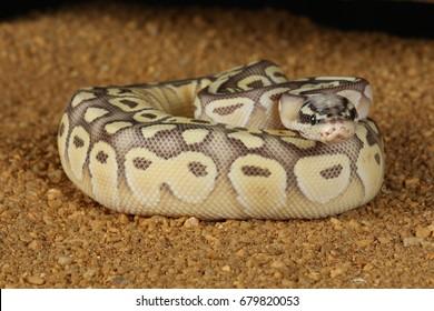 common boa-constrictor