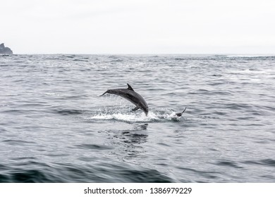 Common bottlenose dolphin in Atacama Desert coast at Chañaral Island. Jumping dolphins playing during a boat trip at Chilean Atacama Desert, an amazing sea wild life to enjoy on a wild environment