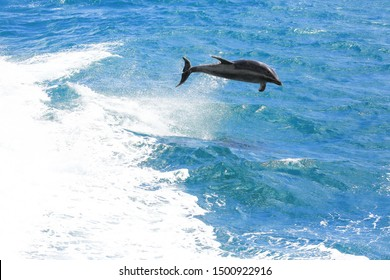 Common bottlenose dolphin jumping in Paihia, Bay of Islands, South Pacific Ocean, New Zealand.