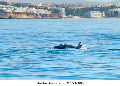 Common bottlenose dolphin swimming near to the coast of Albufeira, Algarve, Portugal, Europe.