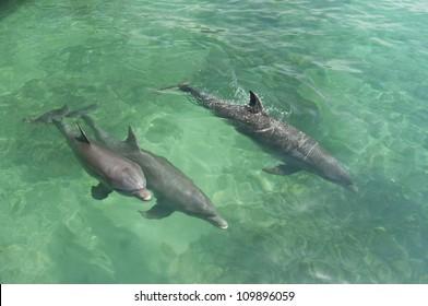 Common Bottlenose Dolphin (Tursiops truncatus) Oceanarium, San Martin de Pajarales island, Rosario islands, Cartagena de Indias, Colombia, South America