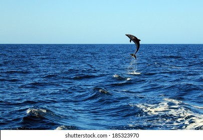Common Bottlenose Dolphin (Tursiops Truncatus) Taking a Big Jump out of the Water, Catalina Islands, Costa Rica