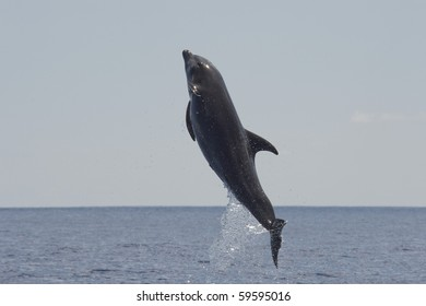 Common Bottlenose Dolphin, Tursiops truncatus, breaching high in the air, Costa Rica, Pacific Ocean.