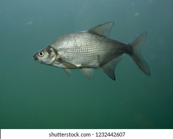 The common bream, freshwater, bronze  or carp bream (Abramis brama), is a European species of freshwater fish in the family Cyprinidae. Fish. Fishing.