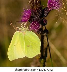 Common Brimstone butterfly (Gonepteryx rhamni) feeding on thistle flower