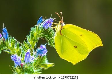 A common brimstone butterfly, gonepteryx rhamni, feeding nectar from a butterfly-bush or Buddleja