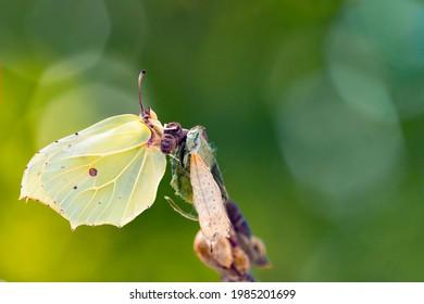Common Brimstone butterfly on chrysalis