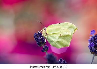 Common brimstone butterfly on lavender macro shot