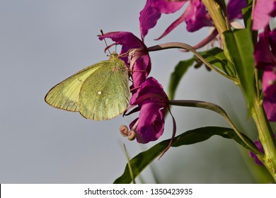 A common brimstone (gonepteryx rhamni) butterfly on a fireweed flower. Location: Western Siberia.