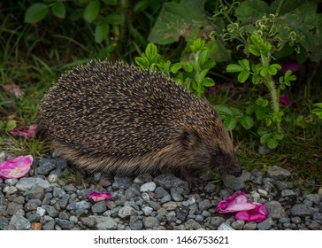 Common British Hedgehog. Walking along hedgerow and path.