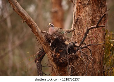 A Common Bronzewing pigeon nesting on a mistletoe plant