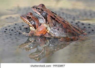 Common brown frog (Rana temporaria) mating on eggs