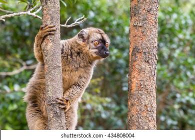 Common brown lemur on a tree, Mayotte Lemur, Madagascar
