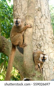 Common brown lemur on a tree of Mayotte island, France