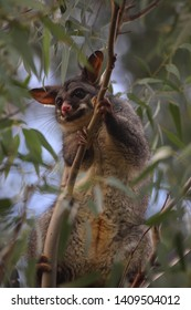 A Common Brushtail Possum climbing in a gum tree
