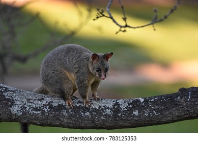 The common brushtail possum is native to Australia, and the second largest of the possums. Spotted at Botanical Garden, Sydney, Australia.