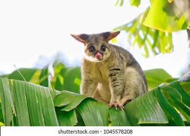 Common Brushtail Possum On Banana Tree, Brisbane, Australia