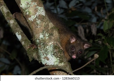 Common brushtail possum (Trichosurus vulpecula). Mount Hypipamee National Park, Queensland, Australia.