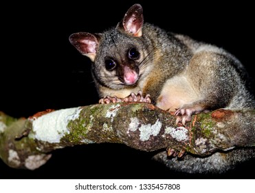 Common Brushtail Possum (Trichosurus vulpecula) sitting on a branch