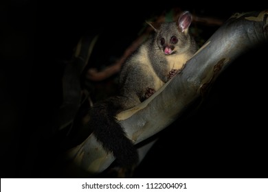 Common Brush-tailed Possum - Trichosurus vulpecula -nocturnal, semi-arboreal marsupial of Australia, introduced to New Zealand.