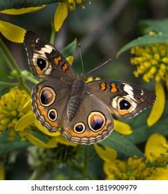 common buckeye butterfly feeding on  wingstem yellow flowers