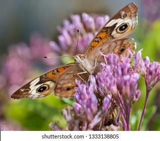 Common Buckeye butterfly (Junonia coenia) nectaring on joe-pye weed ((Eupatorium maculatum). Note long proboscis entering flower.
