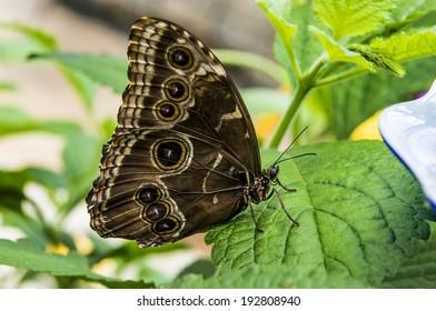 Common Buckeye Butterfly (Junonia coenia).