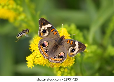 Common Buckeye Butterfly (Junonia coenia) gathering nectar from yellow flowers with a bee flying by