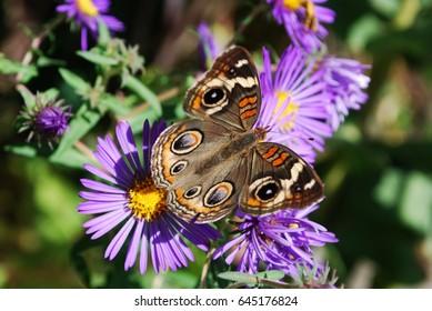 A Common Buckeye Butterfly on bright purple Aster flowers.