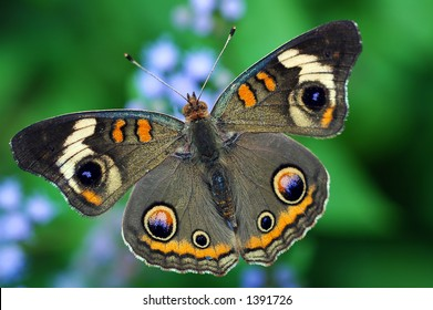 Common Buckeye Butterfly on Flowers