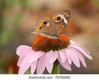 Common Buckeye butterfly on purple cone flower