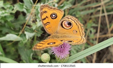 A Common buckeye butterfly is sitting on the flower selective focus