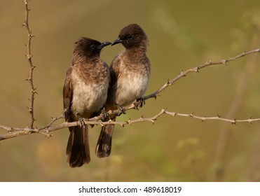 Common Bulbul, Pycnonotus barbatus, two african birds perched on thorny twig close together, staring to each other, touching with beaks. They look fondly. Uganda, Murchison Falls.
