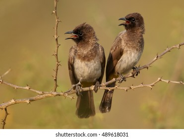 Common Bulbul, Pycnonotus barbatus, two birds perched on thorny twig close together, staring the same direction. They look fondly. Uganda, Murchison Falls.