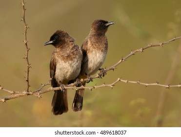 Common Bulbul, Pycnonotus barbatus, two birds perched on thorny twig close together, staring to opposite side. They seem not talking together. Offended partner. Uganda, Murchison Falls.