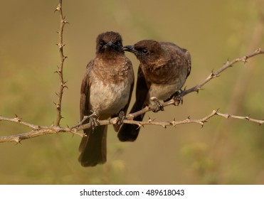 Common Bulbul, Pycnonotus barbatus, two birds perched on thorny twig close together, one touching the other with beak. They look like a married couple. Uganda, Murchison Falls.