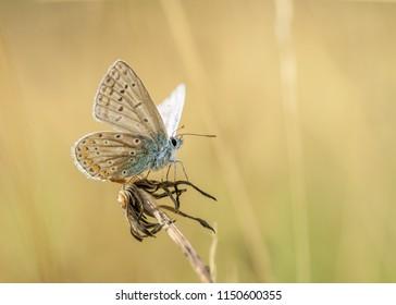 Common Butterfly on dead dandilion