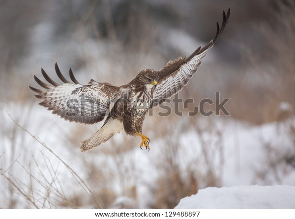Common buzzard about to land on snow