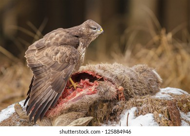 Common buzzard in Bavarian forest feeding upon carion whilst mantling to hide the food
