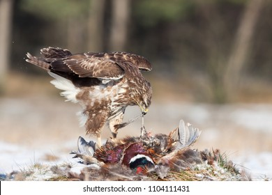Common Buzzard - Buteo Buteo eating a  male pheasant on snow covered ground