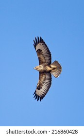 Common Buzzard (Buteo buteo) in flight, soaring with wings outstretched, against a clear blue sky