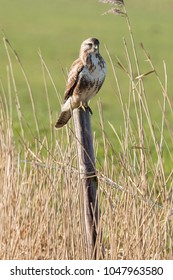 Common buzzard (Buteo buteo) on a wooden pole in the polder of Eemnes (the Netherlands)