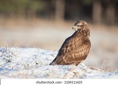 Common Buzzard - Buteo Buteo - sitting on snow covered ground - wildlife photography